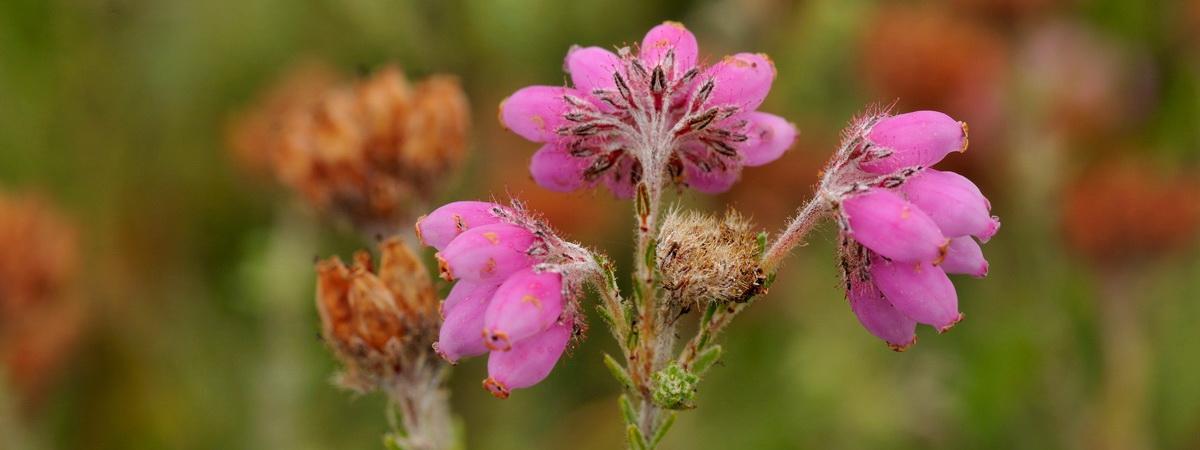 Salix Ecology